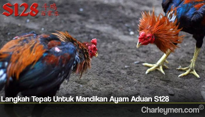 Langkah Tepat Untuk Mandikan Ayam Aduan S128