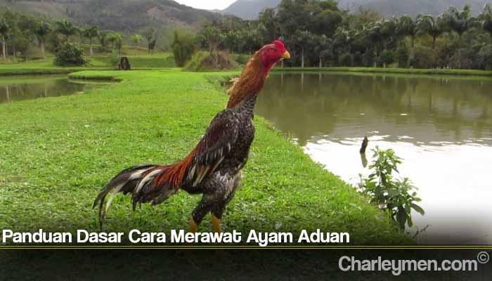 Panduan Dasar Cara Merawat Ayam Aduan